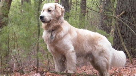 common golden retriever illnesses golden retriever disease predisposition pedigree health