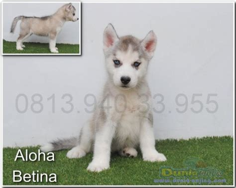 pomeranian alaskan husky mix pomeranian husky mix for sale colorado breeds picture