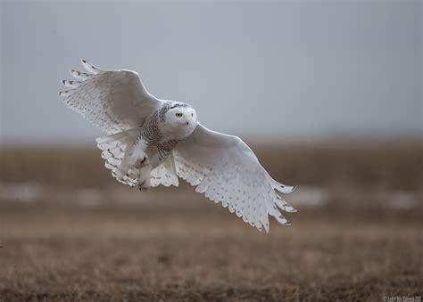 Canon Creative Park Snowy Owl By Radoslawkamil On Deviantart - snowy owl bubo scandiaca sneugle author andr 233 riis