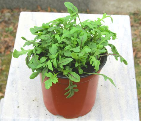 Rucola Garten Pflanzen by Rucola Pflanzen Kaufen Pflanzenversand Harro S Pflanzenwelt