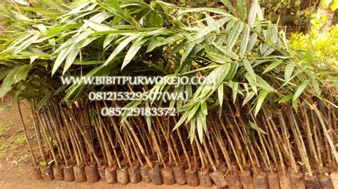 Jual Bibit Bambu Petung Hitam jual bibit bambu petung murah harga proyek jual bibit tanaman