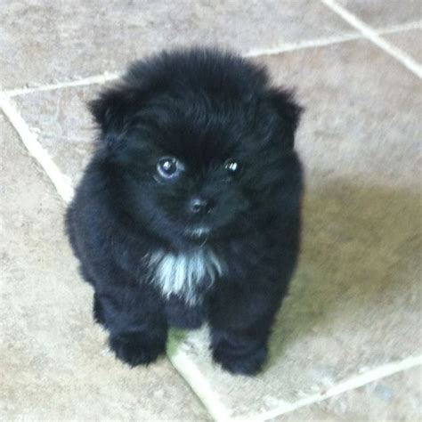 black pomeranian puppies my fluffy black pomeranian puppy pom