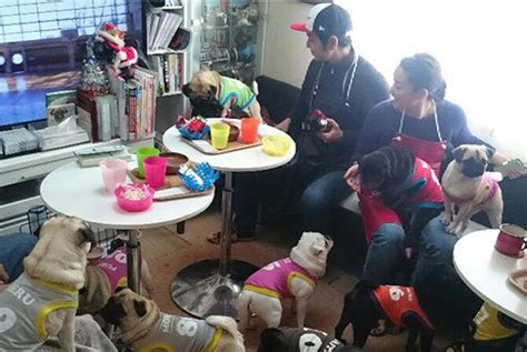 pug cafe japan cafe in kyoto exclusively for pugs and humans lifestyle the jakarta post