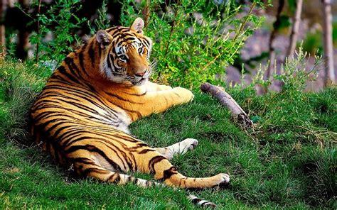 imagenes de tigres verdes animales gatos tigres rayas de color patr 243 n de la fauna