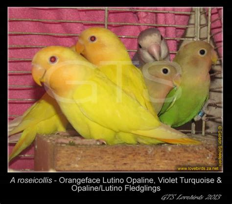 Lovebird Lutino Opaline for sale gts lovebirds