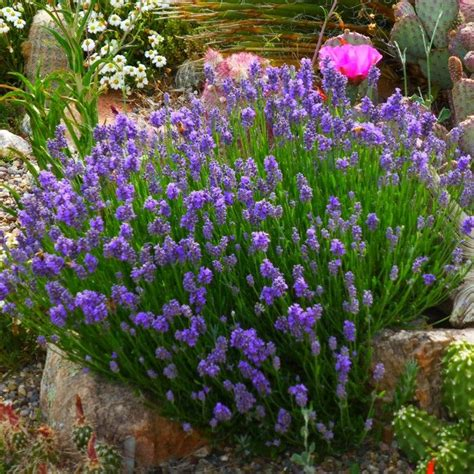 17 best images about new plants for 2015 on pinterest lavandula angustifolia shrubs and lavender