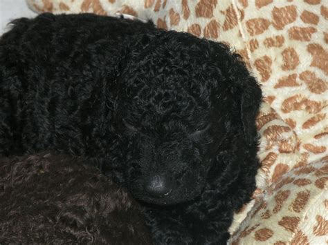 curly coated retriever puppies for sale curly coated retriever puppies for sale derby derbyshire pets4homes