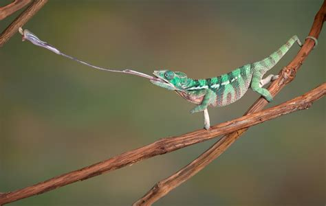 Turquoise Desk Chair Why Do Chameleons Change Their Colors Wonderopolis