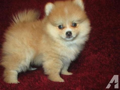 pomeranian 5 months home raised teacup pomeranian 5 month ckc for sale in houston