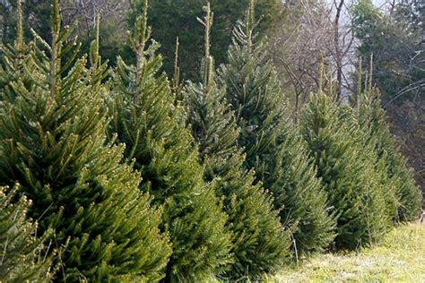 christmas tree farm for sale local rice tree farm is a family affair