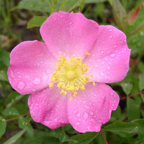 Wild Prairie Rose Rosa Arkansana   prairie wild rose rosa arkansana seed