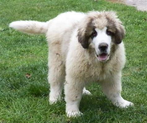 pyrenean mastiff puppies mastiff st bernard puppy breeds picture