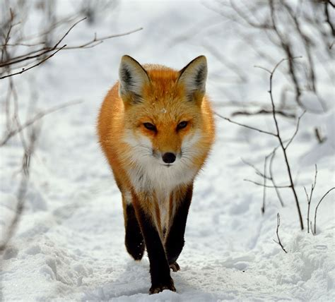 dramanice fox fall in love 15 stunning winter fox photos that ll make you fall in