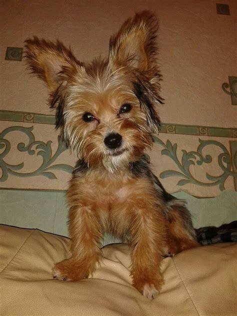 half chihuahua half yorkie half yorkie half chihuahua breeds picture
