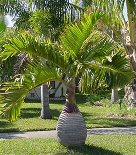 Palm Botol tanaman palem botol bottle palm bibitbunga