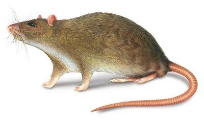 rattus norvegicus – norway rat vebi export