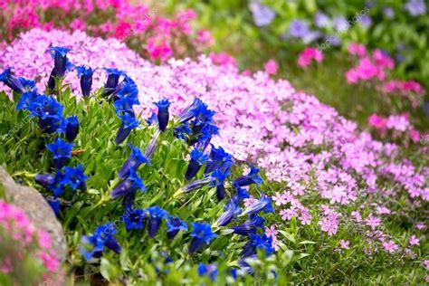 genziana fiore tromba genziana primavera fiore in giardino foto