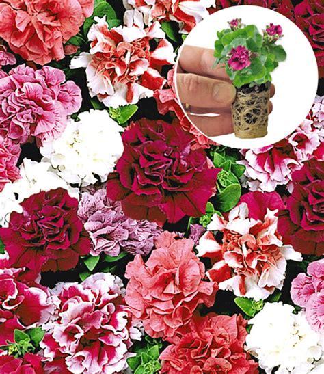 F1 Mix gef 252 llte petunie f1 duo mix beetpflanzen jungpflanzen bei baldur garten