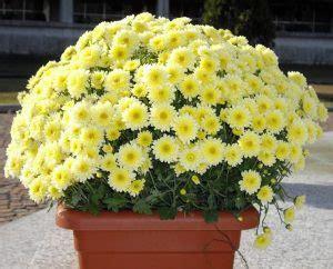 fiori da vaso invernali 10 fiori da balcone invernali