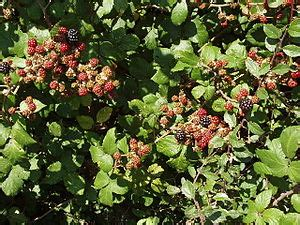avoid pruning if possible; cut back your blackberries and