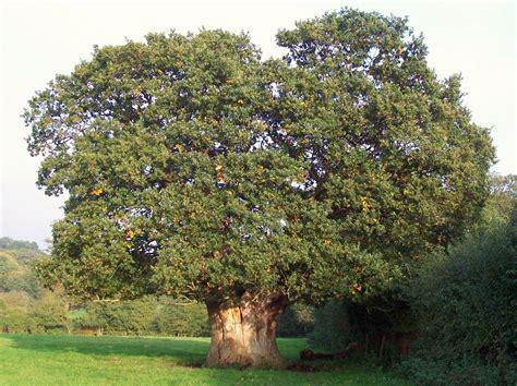 the wisdom of the oak the hazel tree