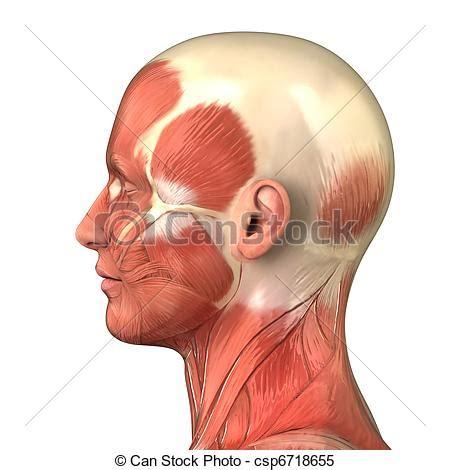 muscoli testa archivi immagini di testa destra laterale sistema