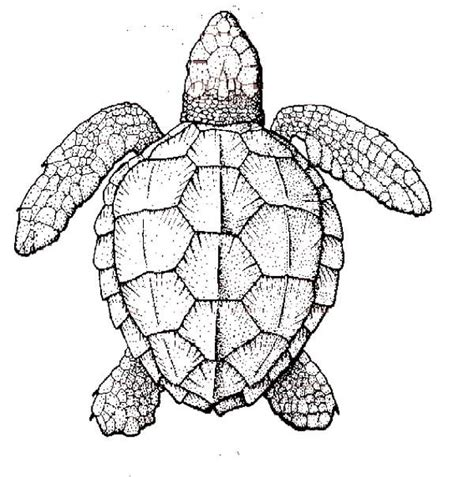 marvelous sea turtles coloring book for adults stress relief coloring book for grown ups books sea turtle anatomy coloring page animals i want to draw