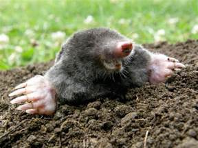 what do moles eat thriftyfun