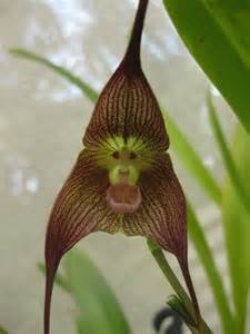 monkey orchid monkey orchid monkeys and things that look like them god nature and flower