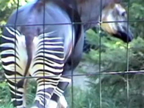strange zebra horse giraffe cross bred okapi youtube