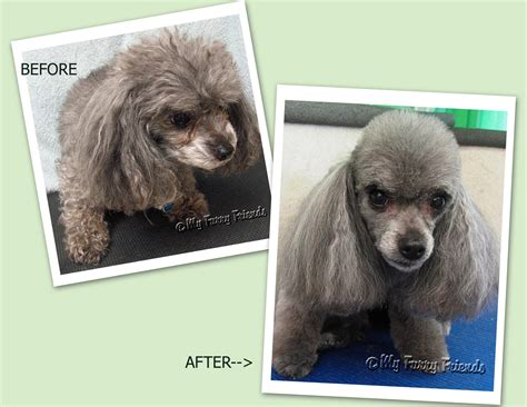how to do a bob marley poodle cut on a dog grooming your furry friend does a poodle have to be