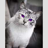 black-cat-with-light-purple-eyes