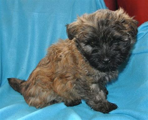 cairn terrier mix puppies for sale cairn terrier adoption related keywords cairn terrier adoption keywords