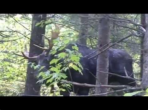 lhomme panache classique yukon 4 part 2 youtube chasse orignal 2013 lac de la rivi 232 re noire doovi