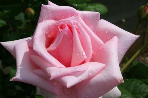 pink rosebud cute wallpaper s cute pink roses