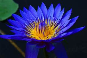 Lotus Bleu Battre L Insomnie Avec Des Herbes Naturelles