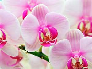 orchid flowers photo 22283856 fanpop
