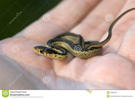 Garter Snake Max Size Baby Garter Snake In Stock Photo Image Of Striped