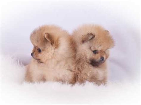 small house dogs for sale pomeranian dogs and puppies for sale in the uk pets4homes