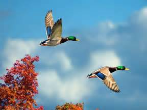 flying birds wallpapers entertainment only