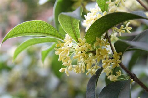 fragrant olive plant how to plant osmanthus fragrans ebay
