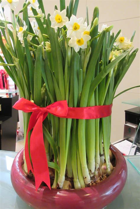 new year white flower file hk stt the westword mall sacred 水仙花