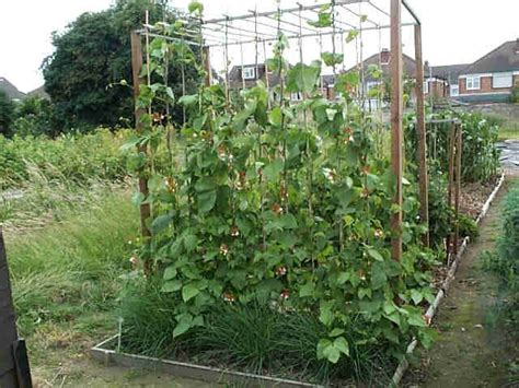 Gardening Green Beans Expert Tips How To Grow Runner Beans Successfully