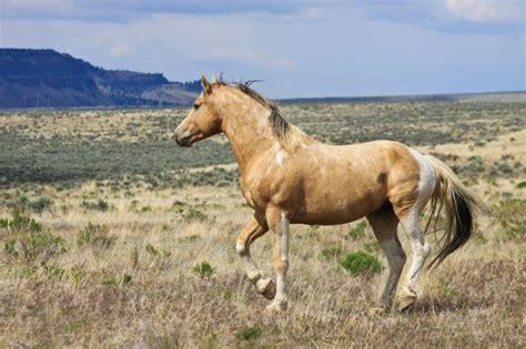 mustang horse running steens wild horses 1859 magazine
