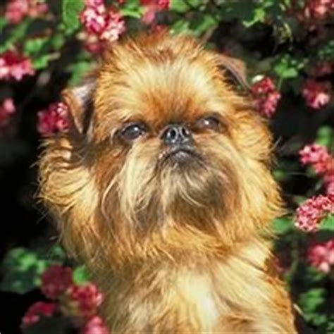 brussels griffon puppies for sale in brussels griffon puppies for sale