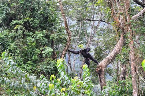 how common is swinging swing with chimps in freetown radisson blu blog