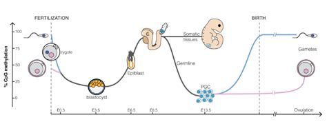 pattern formation during embryonic development is based on reprogramming wikipedia