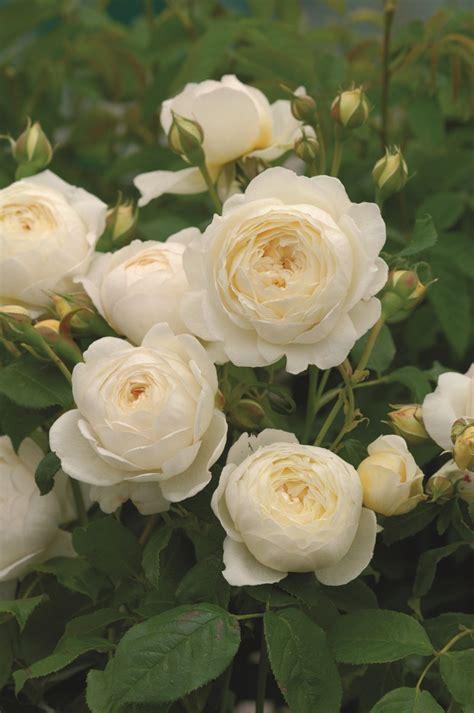 white garden spray roses claire austin ausprior davidaustinroses gardenroses white flowers