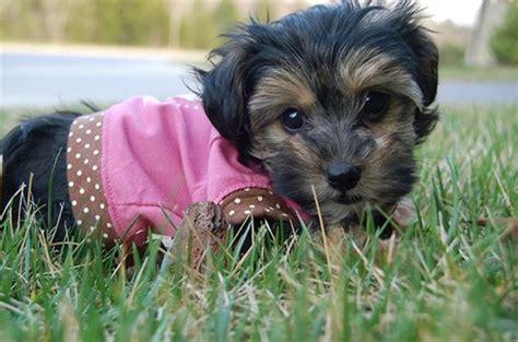 yorkie grass yorkie pup in pink dress on grass jpg