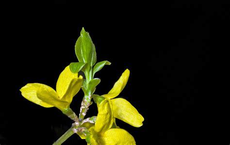 fiori di ginestra fiori di ginestra foto immagini piante fiori e funghi